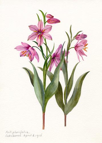 Fritillaria plurifolia by Lillian Snelling