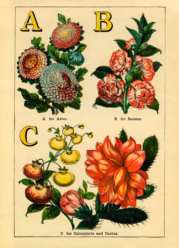 A for Aster, B for Balsam, C for Calceolaria and Cactus by John Dicks