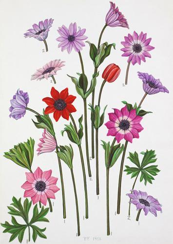 Anemone pavonina, Anemone stellata, Anemone hortensis by John Paul Wellington Furse