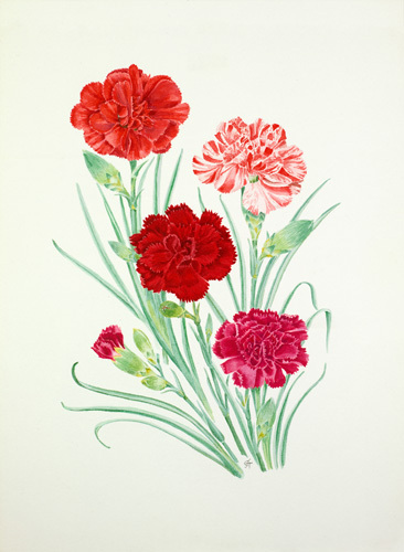 Dianthus 'Lord Chatham', Striped Sport, Crimson Clove and 'Starcross' by Graham Stuart Thomas