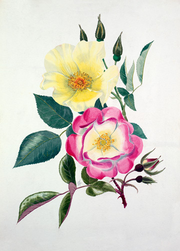 Rosa 'Golden Wings', Rosa 'Erfurt' by Graham Stuart Thomas