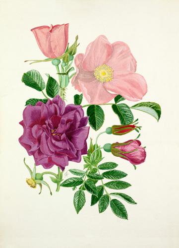 Rosa 'Fru Dagmar Hastrup', Rosa 'Roseraie de l'Hay' by Graham Stuart Thomas