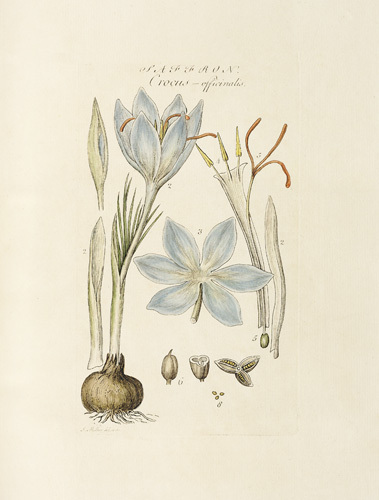Saffron : Crocus officinalis by John Miller