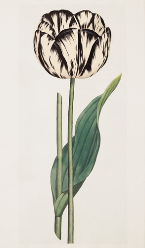 Tulip by James Sowerby
