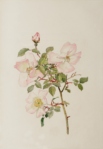 Rosa indica var. grandiflora by Alfred William Parsons