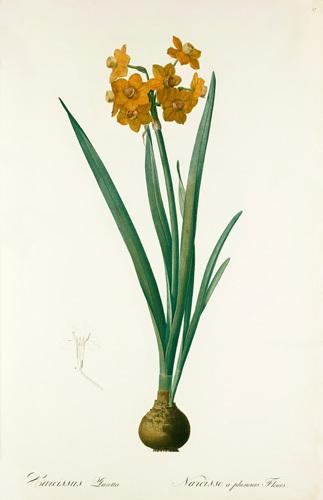 Narcissus tazetta by Pierre Joseph Celestin Redouté