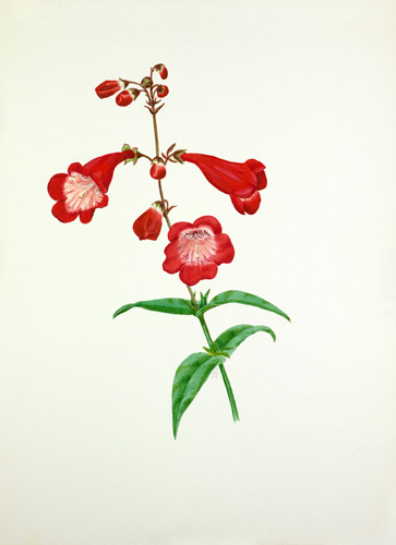 Penstemon 'Rubicundus' by Graham Stuart Thomas