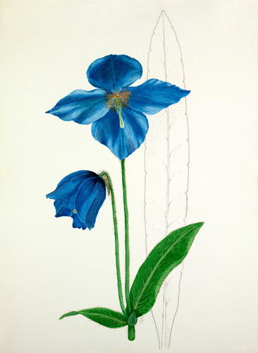 Meconopsis 'Slieve Donard' by Graham Stuart Thomas