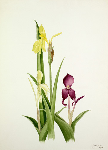 Roscoea spp. by Graham Stuart Thomas