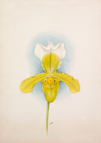 Cypripedium x San de Derai superbum by Nellie Roberts