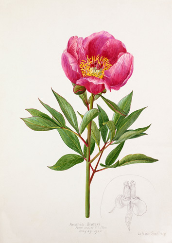Paeonia broteri by Lillian Snelling