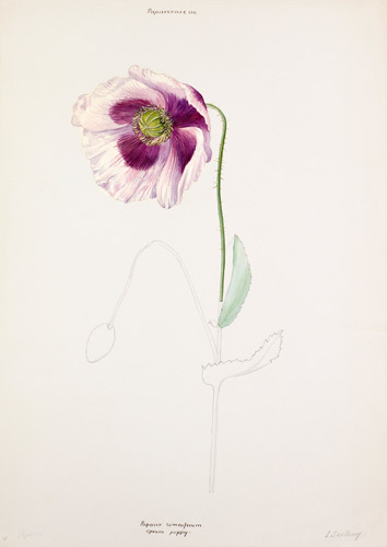 Papaver somniferum by Lillian Snelling