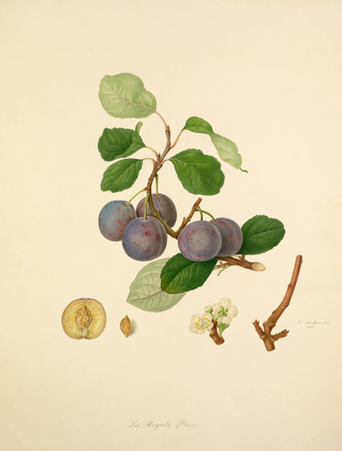 The Royale Plum by William Hooker
