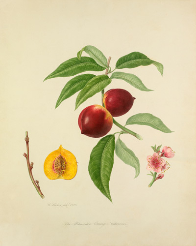 The Persimmon Orange Nectarine by William Hooker