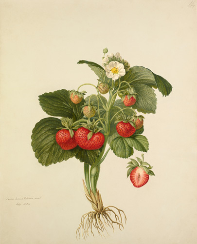 Strawberry 'Wilmot's Superb' by Charles John Robertson