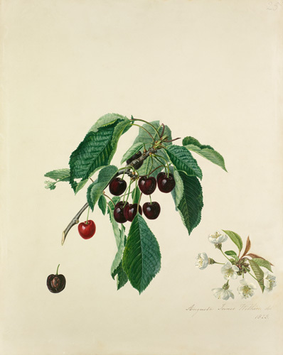 Cherry, Black by Augusta Innes Withers