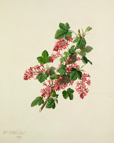 Ribes sanguineum by Augusta Innes Withers
