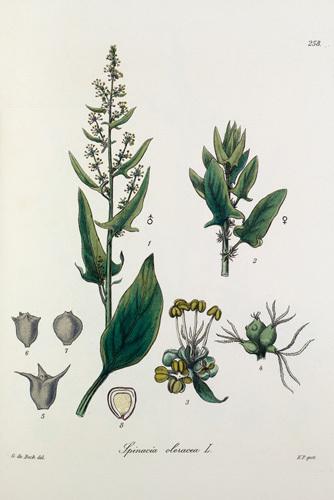 Spinacia oleracea by Heinrich Gottlieb Ludwig Reichenbach