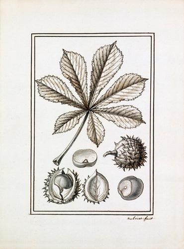 Hippocastanum vulgare by Claude Aubriet