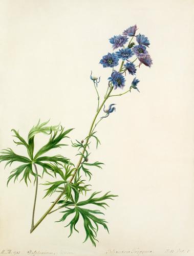Delphinium elatum by Margaret Meen