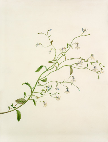 Lobelia sp. by Margaret Meen