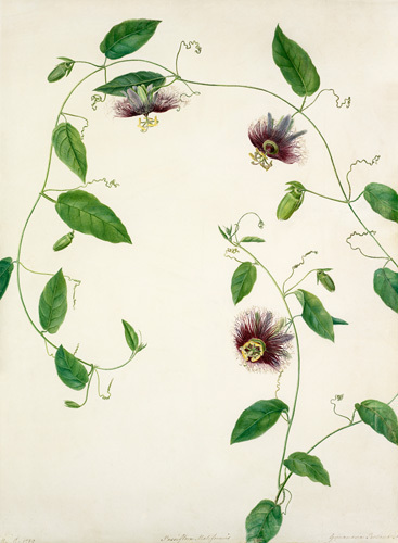 Passiflora maliformis by Margaret Meen