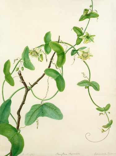 Passiflora vespertilio by Margaret Meen