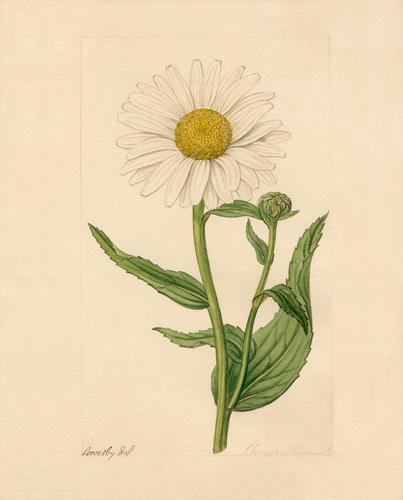Chrysanthemum by James Sowerby