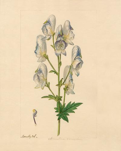 Aconitum variegatum by James Sowerby