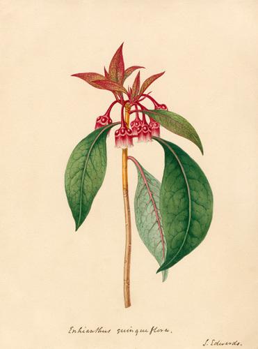 Enkianthus quinqueflorus by Sydenham Teast Edwards