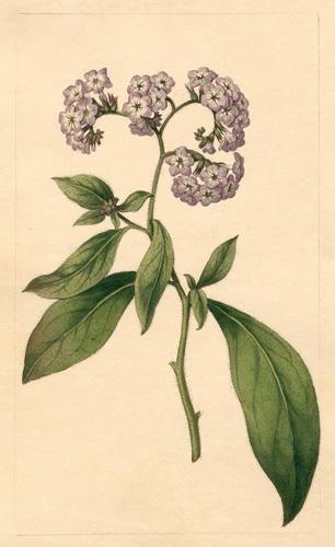 Heliotropium corymbosum by Sydenham Teast Edwards