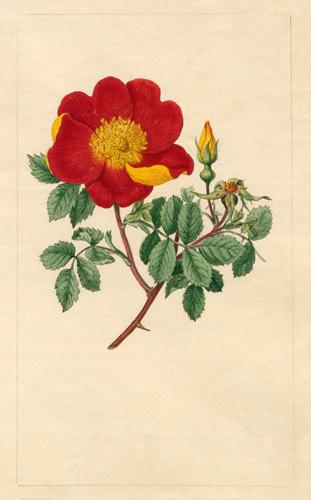 Rosa foetida 'Bicolor' by Sydenham Teast Edwards