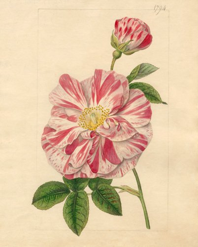 Rosa gallica versicolor 'Rosa Mundi' by Sydenham Teast Edwards