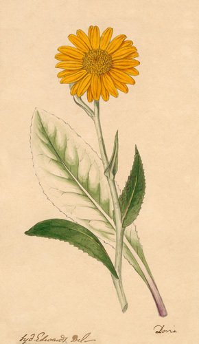 Senecio Doronicum by Sydenham Teast Edwards