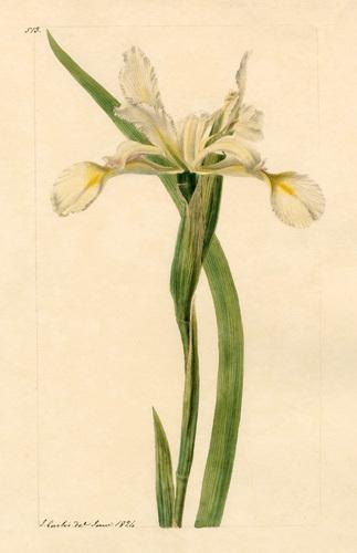 I. spuria halophila by John Curtis