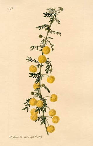 Acacia nigricans by John Curtis