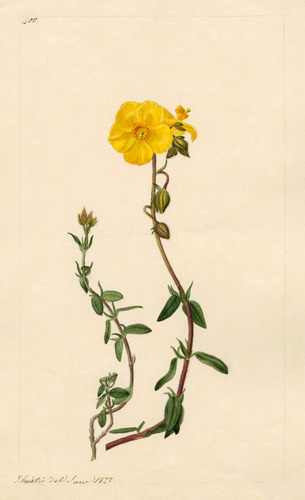 Cistus by John Curtis