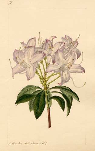 Rhododendron arborescens by John Curtis
