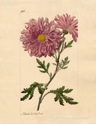 Chrysanthemum indicum by John Curtis