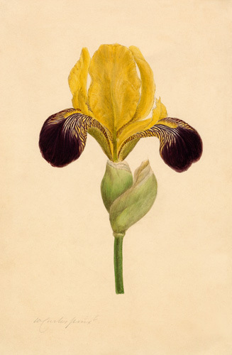 Iris 'Vandewill' by William Curtis