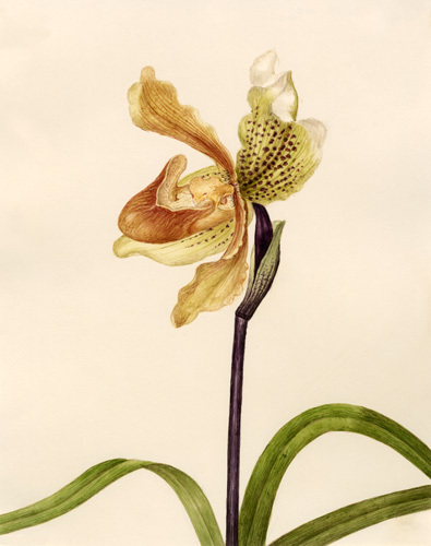 Cypripedium insigne by Caroline Maria Applebee