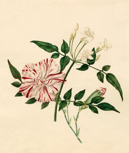 Dianthus caryophyllus 'Scarlet Flake' : Jasminum officinale by Caroline Maria Applebee