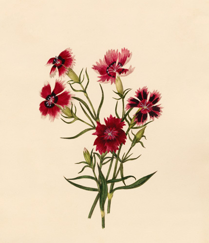 Dianthus chinensis (II) by Caroline Maria Applebee