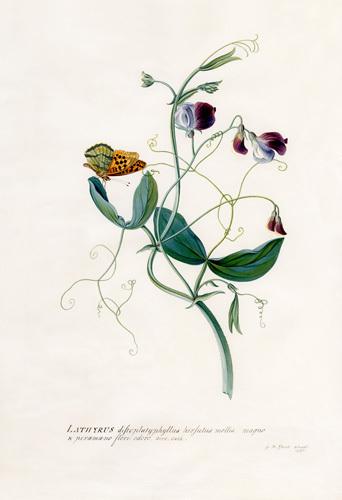 Lathyrus distoplatuphyllus hirsutus mollis by Georg Dionysus Ehret