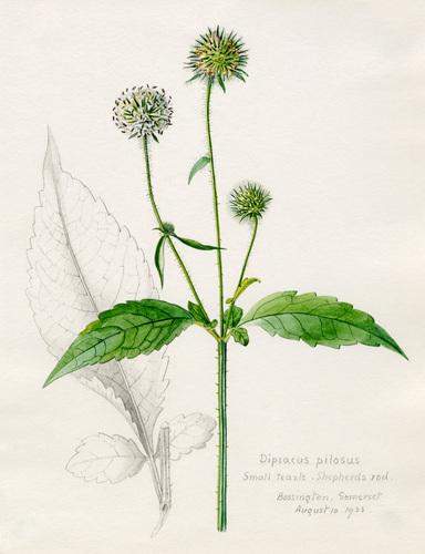 Dipsacus pilosus, Small Teazle, Shepherd's Rod by Lillian Snelling