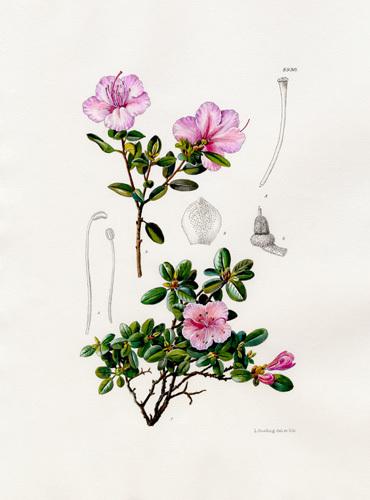 Rhododendron dauricum var. sempervirens by Lillian Snelling