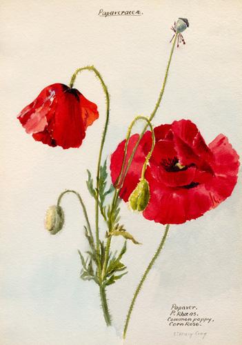 Papaveraceae. Papaver. P.Rhoeas. Common Poppy, Corn Rose by Lillian Snelling