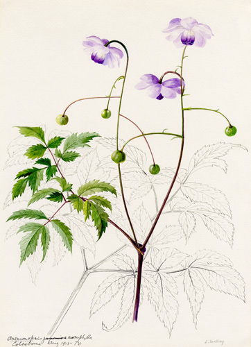 Anemonopsis macrophylla by Lillian Snelling