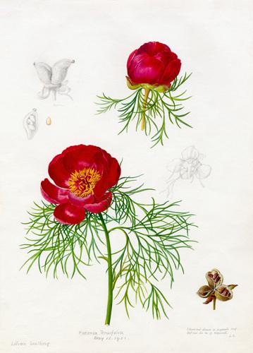 Paeonia tenuifolia by Lillian Snelling