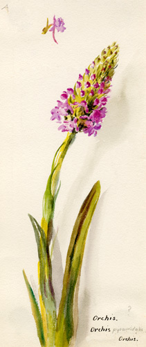 Orchis pyramidalis by Lillian Snelling